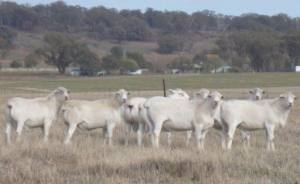 Sheep Photo 1
